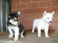 Sakhalin Husky Puppies for sale in OH-3, Urbancrest, OH 43123, USA. price: NA