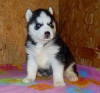 Sakhalin Husky Puppies for sale in Calhoun Rd, Houston, TX, USA. price: NA