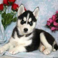 Sakhalin Husky Puppies for sale in TX-249, Houston, TX, USA. price: NA
