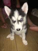Sakhalin Husky Puppies Photos