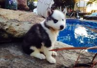 Sakhalin Husky Puppies for sale in Wisconsin Dells, WI, USA. price: NA