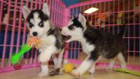Sakhalin Husky Puppies for sale in Norfolk, VA, USA. price: NA