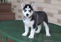 Sakhalin Husky Puppies for sale in Albuquerque, NM 87153, USA. price: NA