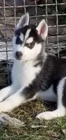 Sakhalin Husky Puppies for sale in Belews Creek, NC 27009, USA. price: NA