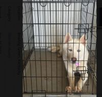 Sakhalin Husky Puppies for sale in 1317 Scottsville Rd, Bowling Green, KY 42104, USA. price: NA