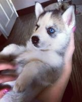 Sakhalin Husky Puppies for sale in Fort Pierce, FL, USA. price: NA
