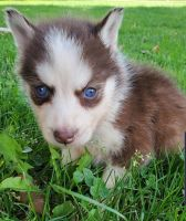 Sakhalin Husky Puppies for sale in Cut Off, LA 70345, USA. price: NA