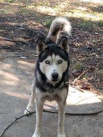 Sakhalin Husky Puppies for sale in Arlington, TX, USA. price: NA
