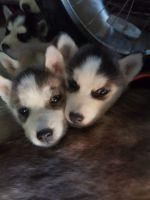 Sakhalin Husky Puppies for sale in Battle Creek, MI, USA. price: NA
