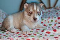 Sakhalin Husky Puppies for sale in Rogersville, TN 37857, USA. price: NA