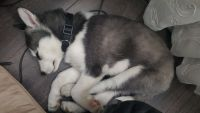 Sakhalin Husky Puppies for sale in Akron, OH 44312, USA. price: NA