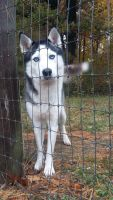 Sakhalin Husky Puppies for sale in Brazil, IN 47834, USA. price: NA