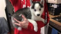 Sakhalin Husky Puppies for sale in Dayton, OH, USA. price: NA