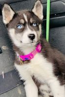 Sakhalin Husky Puppies for sale in Hamilton, OH, USA. price: NA