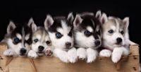 Sakhalin Husky Puppies for sale in Hawaii Kai, Honolulu, HI, USA. price: NA