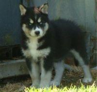 Sakhalin Husky Puppies for sale in Detroit, MI, USA. price: NA