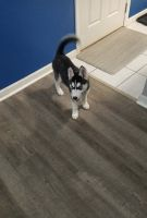 Sakhalin Husky Puppies for sale in League City, TX 77573, USA. price: NA