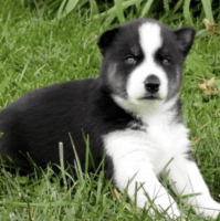 Sakhalin Husky Puppies for sale in Annandale, VA, USA. price: NA