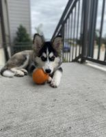 Sakhalin Husky Puppies for sale in Plano, TX, USA. price: NA