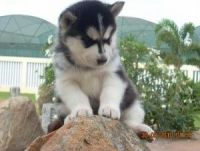 Sakhalin Husky Puppies for sale in New York, NY 10013, USA. price: NA