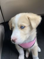 Sakhalin Husky Puppies for sale in Cudahy, CA 90201, USA. price: NA