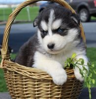 Sakhalin Husky Puppies for sale in California City, CA, USA. price: NA