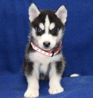 Sakhalin Husky Puppies for sale in Denver, Irvine, CA 92604, USA. price: NA