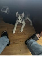 Sakhalin Husky Puppies for sale in Avenel St, Woodbridge Township, NJ 07001, USA. price: NA