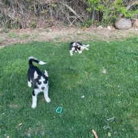 Sakhalin Husky Puppies for sale in Springville, UT, USA. price: NA