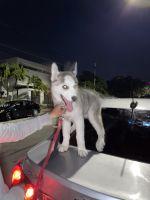 Sakhalin Husky Puppies for sale in Miami, FL, USA. price: NA