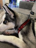 Sakhalin Husky Puppies for sale in 286 Lower Nis Hollow Dr, Lehighton, PA 18235, USA. price: NA