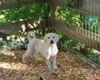 Saluki Puppies for sale in San Antonio, TX, USA. price: NA