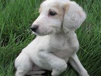 Saluki Puppies for sale in South Miami, FL, USA. price: NA