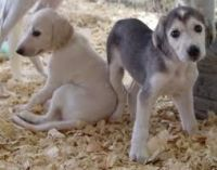 Saluki Puppies for sale in Carlsbad, CA, USA. price: NA