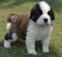 Saluki Puppies for sale in Beaver Creek, CO 81620, USA. price: NA
