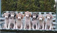 Saluki Puppies for sale in Niles, MI 49120, USA. price: NA