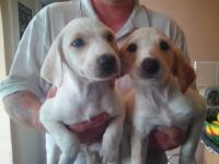 Saluki Puppies for sale in Los Angeles, CA, USA. price: NA