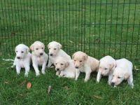 Saluki Puppies for sale in Oklahoma County, OK, USA. price: NA