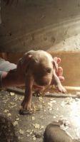 Saluki Puppies for sale in NJ-38, Cherry Hill, NJ 08002, USA. price: NA