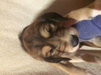 Saluki Puppies for sale in Maryland City, MD, USA. price: NA