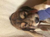 Saluki Puppies for sale in New York, IA 50238, USA. price: NA