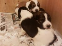 Saluki Puppies for sale in 58503 Rd 225, North Fork, CA 93643, USA. price: NA