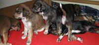Saluki Puppies for sale in Walnut, CA, USA. price: NA
