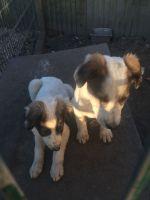 Saluki Puppies for sale in Washington, DC, USA. price: NA