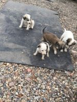Saluki Puppies for sale in OR-99W, McMinnville, OR 97128, USA. price: NA