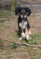 Saluki Puppies for sale in Austin, TX, USA. price: NA