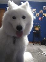 Samoyed Puppies for sale in Conneaut, OH 44030, USA. price: NA