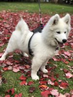 Samoyed Puppies for sale in Liberty, NY, USA. price: NA