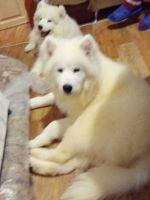 Samoyed Puppies for sale in Atlanta, GA, USA. price: NA