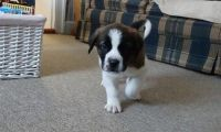 Sanshu Puppies for sale in Beaver Creek, CO 81620, USA. price: NA